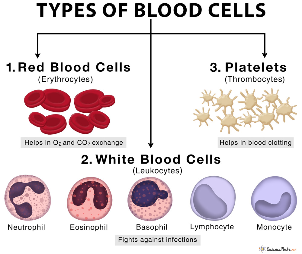 Types Of Blood Cells With Their Structure  And Functions