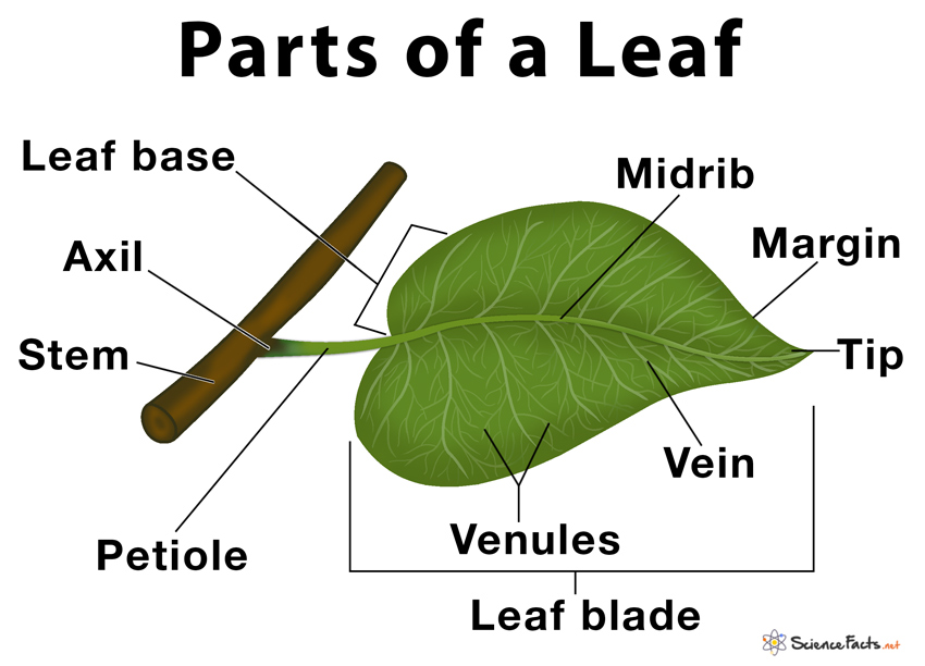 Parts Of A Leaf  Their Structure And Functions With Diagram