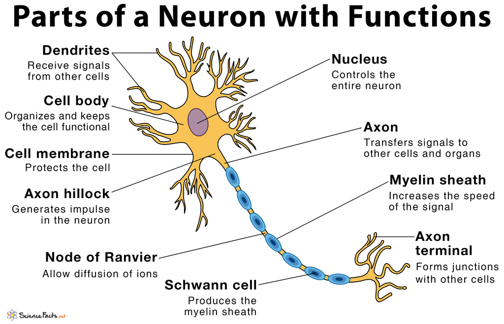 Parts Of A Neuron And Their Functions With Labelled Diagram
