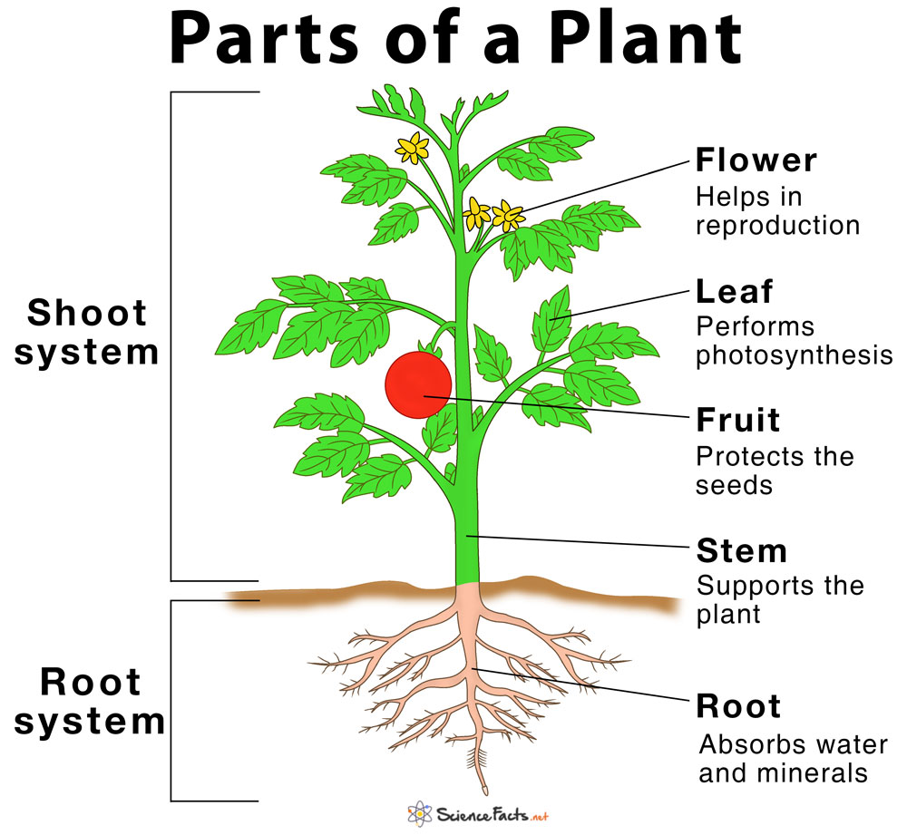 Main Parts Of A Plant  Their Functions  Structure  Diagram