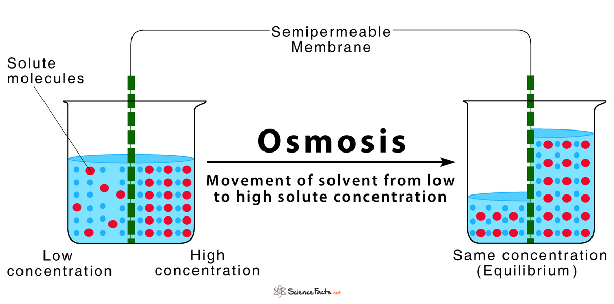 Osmosis  Definition And How Does It Occur  With Diagram