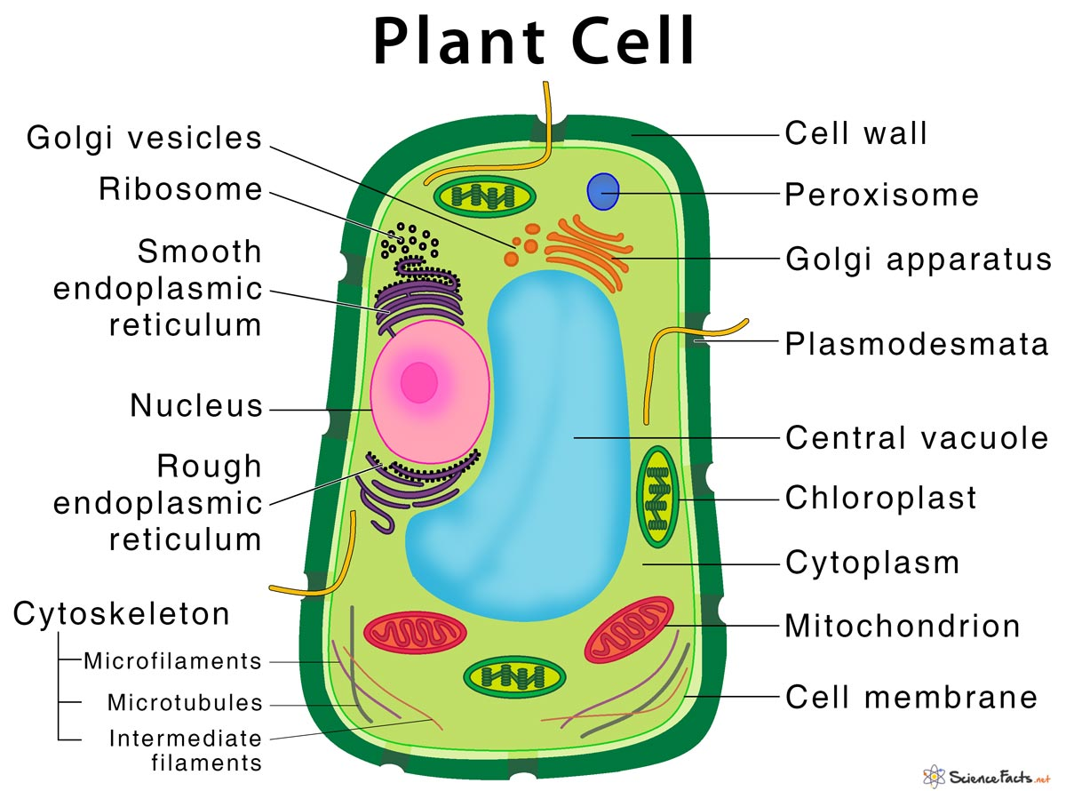 plant cell – structure, parts, functions, types, and diagram  science facts