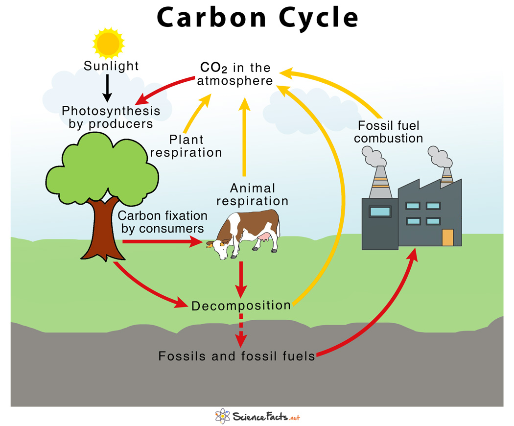 Carbon Cycle  U2013 Definition  Human Impacts  Importance  U0026 Diagram