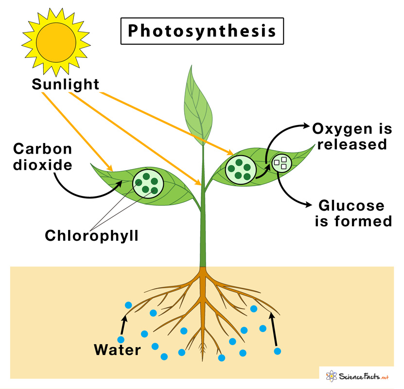 Photosynthesis  U2013 Definition  Steps  And Formula With Diagram