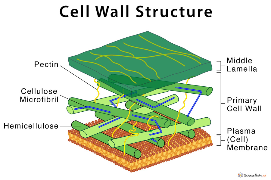 Cell Wall  Definition  Structure   U0026 Functions With Diagram