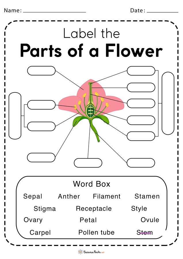 Parts of a Flower Worksheet   Free Printable