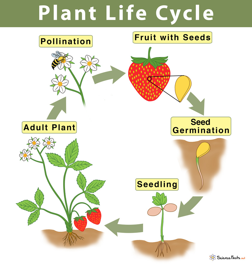 Plant Life Cycle: Stages and Diagram