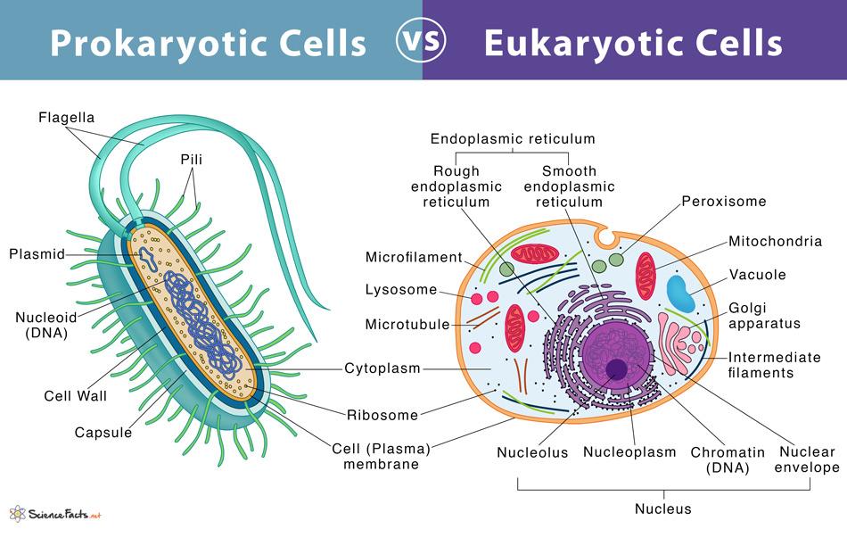 Prokaryotes vs. Eukaryotes: Definition and Characteristics